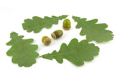 Acorns and leaves of oak Stock Photography