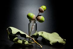 Acorns and leaves of oak in a glass cone on a dark background stock images