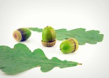 Acorns and leaves of oak Stock Image