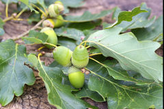 The acorns and leaves on wood. Acorns and leaves on wood Stock Image