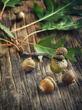 Acorns with leaves. Royalty Free Stock Image