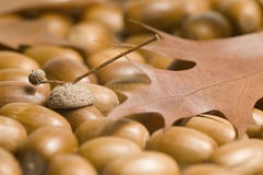 Acorns and Maple Leaf Royalty Free Stock Photography
