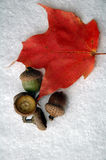 Acorns with maple leaf royalty free stock photos