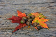 Acorns and maple leaves Stock Image