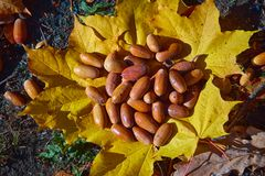 Acorns maple leaves royalty free stock photo