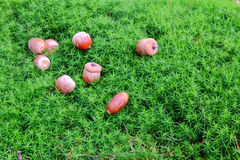 Acorns moss background. Acorns on the green moss Stock Photography