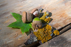 Acorns, moss and green leaves on a wooden surface Royalty Free Stock Image
