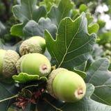 Acorns na dębowym drzewie Zdjęcia Stock