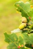 Acorns na drzewie Zdjęcie Stock
