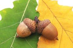 Acorns na liściach Zdjęcie Stock