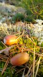 Acorns and needles on moss at sunset in forest Royalty Free Stock Photography