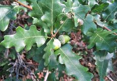 Acorns. Are the nuts or seeds that produce the mighty, strong oak trees Stock Images