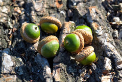 Acorns on oak bark Stock Photo