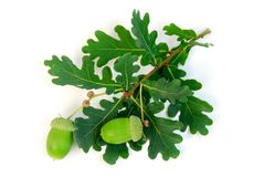 Acorns oak branch stock photo