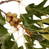 Acorns on an oak branch Stock Photography