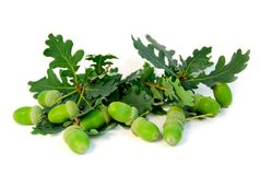 Acorns oak branches Royalty Free Stock Image