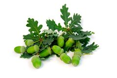 Acorns oak branches Stock Photo