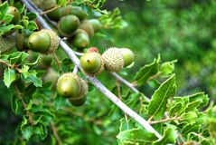 Acorns on oak branches. Green acorns and green leaves on oak branches. Bluer green background stock photos