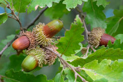 Acorns of oak Stock Photo