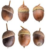 Acorns of oak isolated on white background. With clipping path Stock Photography