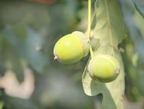 Acorns on an oak leaf Stock Image