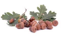 Acorns and oak leafs Stock Photo