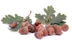 Acorns and oak leafs. On white Stock Photo