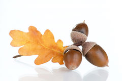 Acorns with  oak leaves Stock Images