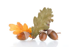 Acorns with  oak leaves Stock Photo