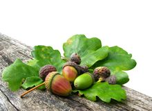 Acorns and oak leaves. Isolated on white background Royalty Free Stock Photos