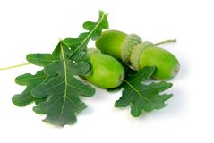Acorns and oak leaves royalty free stock photography