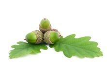Acorns on oak leaves Stock Images