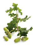 Acorns and oak leaves Stock Image