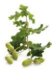 Acorns and oak leaves Stock Image
