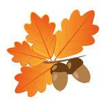 Acorns With Oak Leaves in Autumn Isolated Objects. Light brown acorns with dark brown hats on a branch with bright orange autumn oak leaves on a white background Stock Image