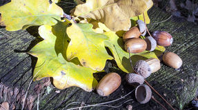 Acorns and oak leaves on hemp Stock Images