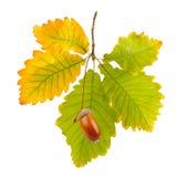 Acorns and oak leaves Stock Photo