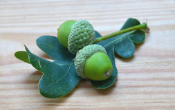 Acorns and Oak leaves Quercus. Acorns and Oak leaves on desk, Quercus Royalty Free Stock Photo