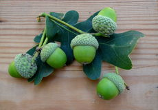 Acorns and Oak leaves Quercus Royalty Free Stock Image