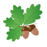 Acorns With Oak Leaves in Summer Isolated Objects. Light brown acorns with dark brown hats on a branch with bright green oak leaves on a white background Royalty Free Stock Photo