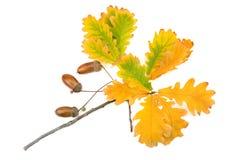 Acorns and oak leaves Stock Photos