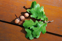Acorns and oak leaves Stock Images