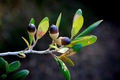 Acorns Oak Nuts Seeds Royalty Free Stock Image