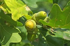 Acorns on the oak-tree Stock Photography