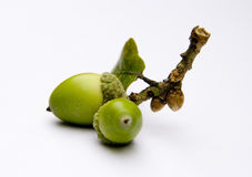 Acorns from an Oak tree Stock Image