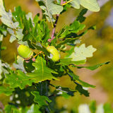 Acorns on a oak tree branch Royalty Free Stock Images