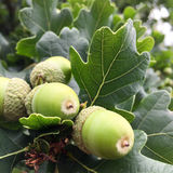 Acorns on oak tree Stock Photos