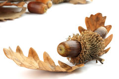 Acorns and oak tree leaves Royalty Free Stock Photos