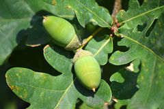 Acorns of the oak tree Stock Photography