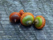 Acorns with an oak tree on a wooden surface. Closeup stock images
